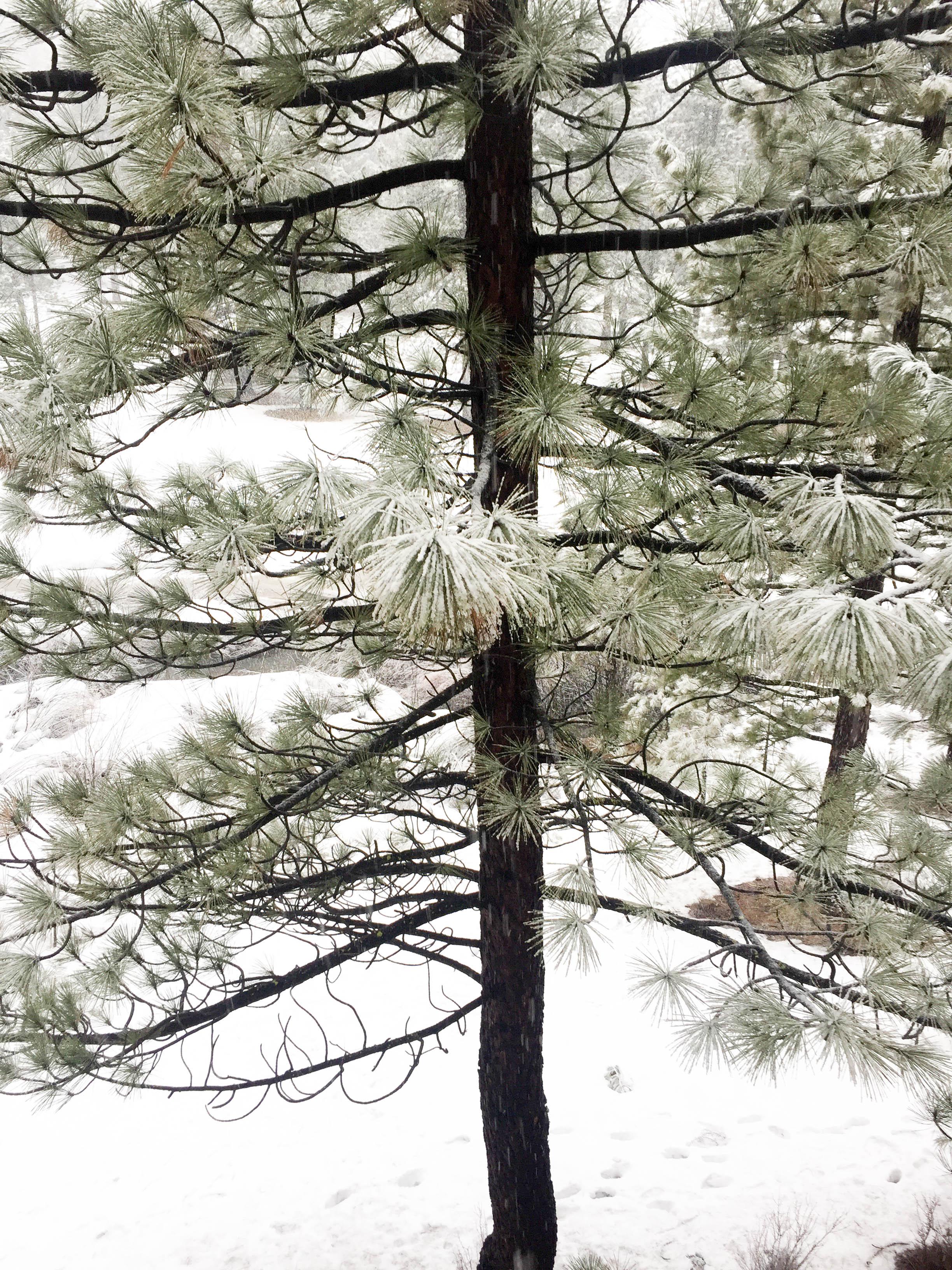 LakeTahoe_Tree