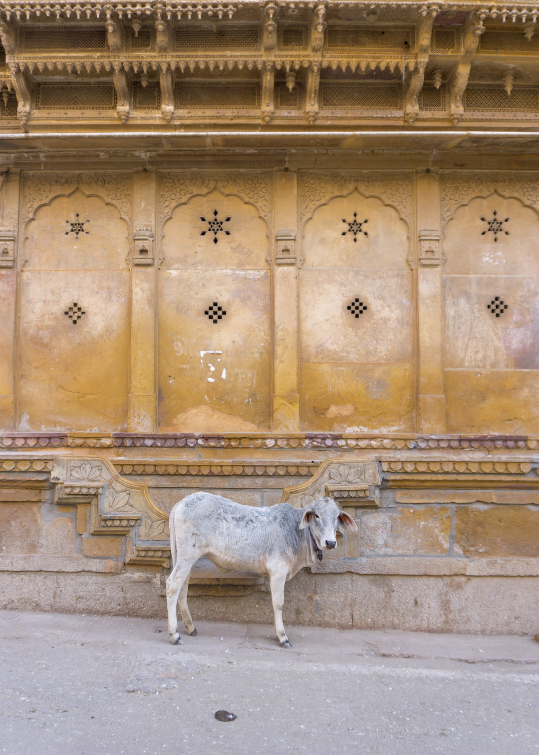 Jaisalmer_cow_Her_Travel_Edit