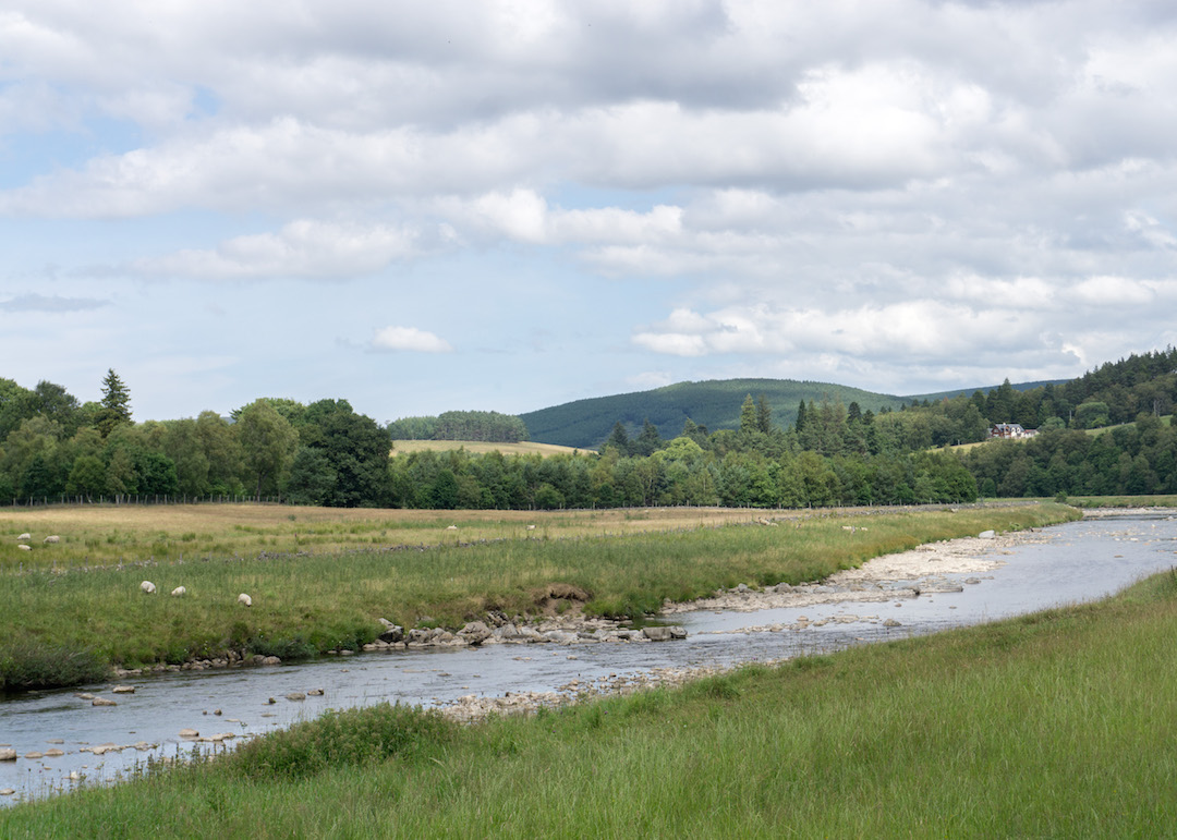 Sheep by River Findhorn