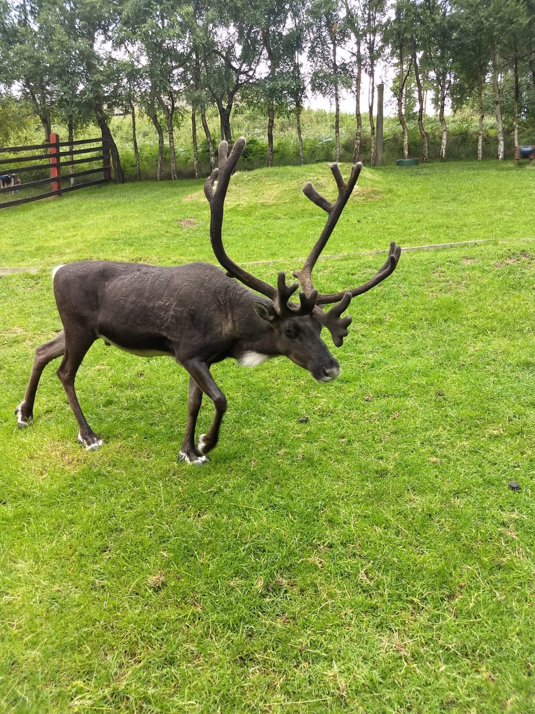 Reindeer in Cairngorms National Park