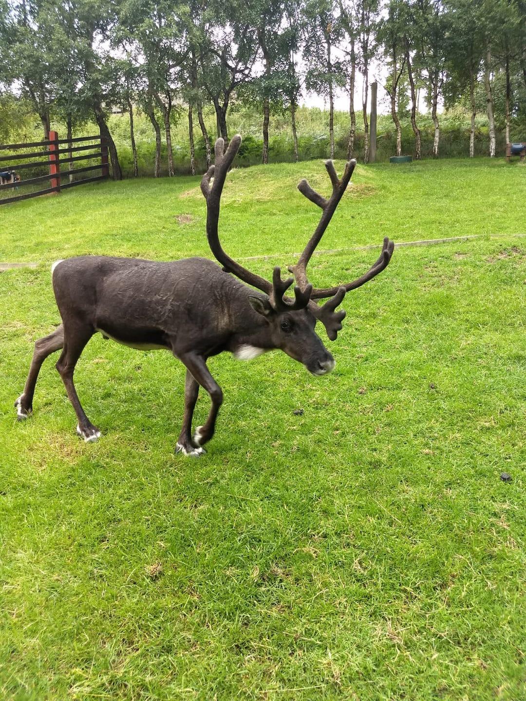 Reindeer in Cairngorms National Park