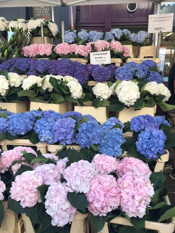 Hydrangeas at Columbia Flower Market