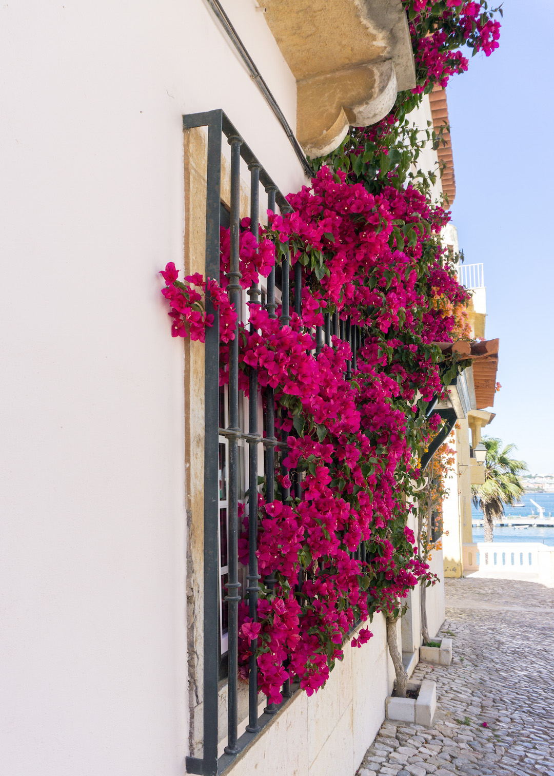 Bougainvillea in Cascais, Portugal